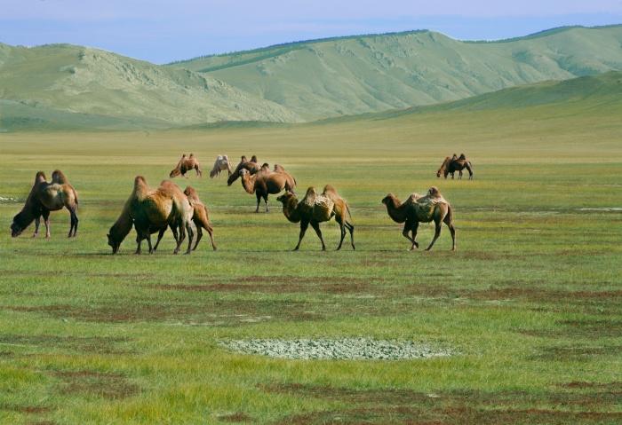 Eine Herde von Kamelen grast auf der Steppe